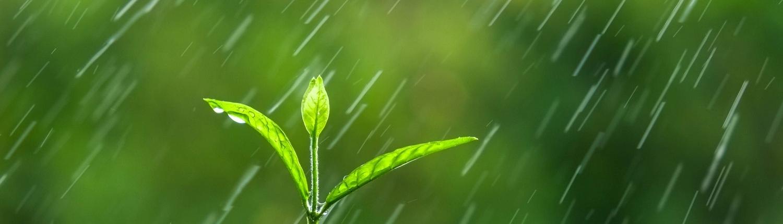 seedling in rain